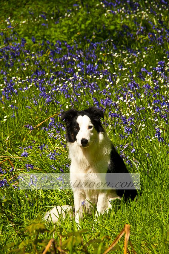 Bailey Moondog Amongst The Bluebells Under Roseberry Topping
