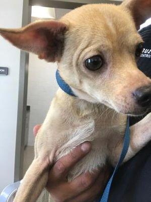 URGENT **emaciated** Fort Worth, TX Chihuahua. Meet