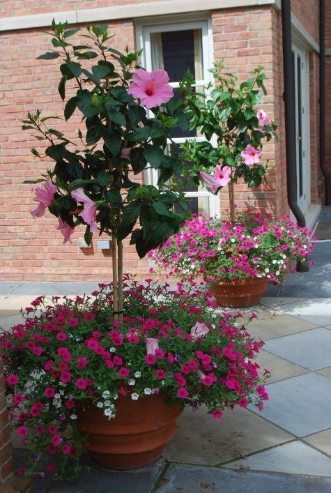 This fuchsia petunia is also from the Vista series.Though the pink hibiscus standards are the star of the show, the small petunias add lots of texture and volume.The hibiscus trees are weighted visuallyat the bottom.