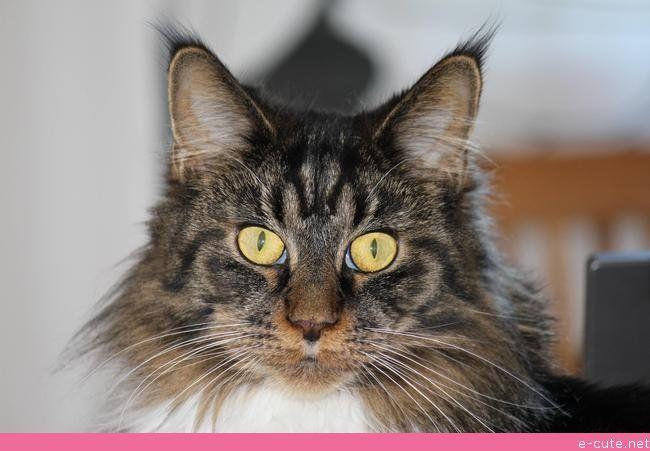 My Cat Jemima [maine Coon]