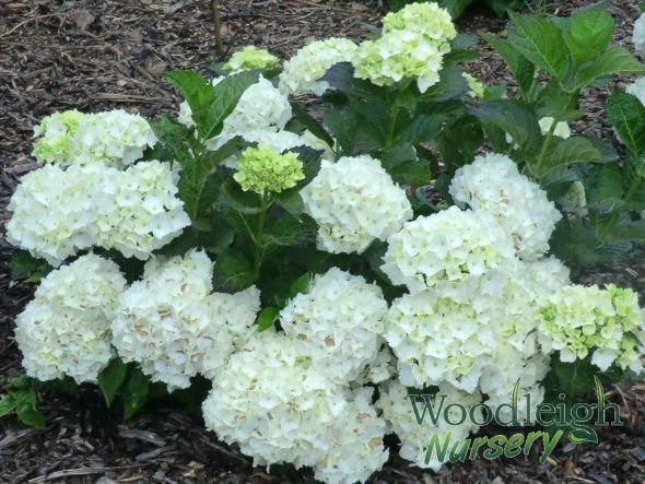 Agnes Pavelli Is One Of The Best White Mophead Hydrangeas With Large Heads Of Pure White Flowers Description Hydrangea Macrophylla Hydrangea Hydrangea Garden