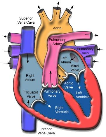Great Heart Site Anatomy Physiology Pinterest Heart Anatomy