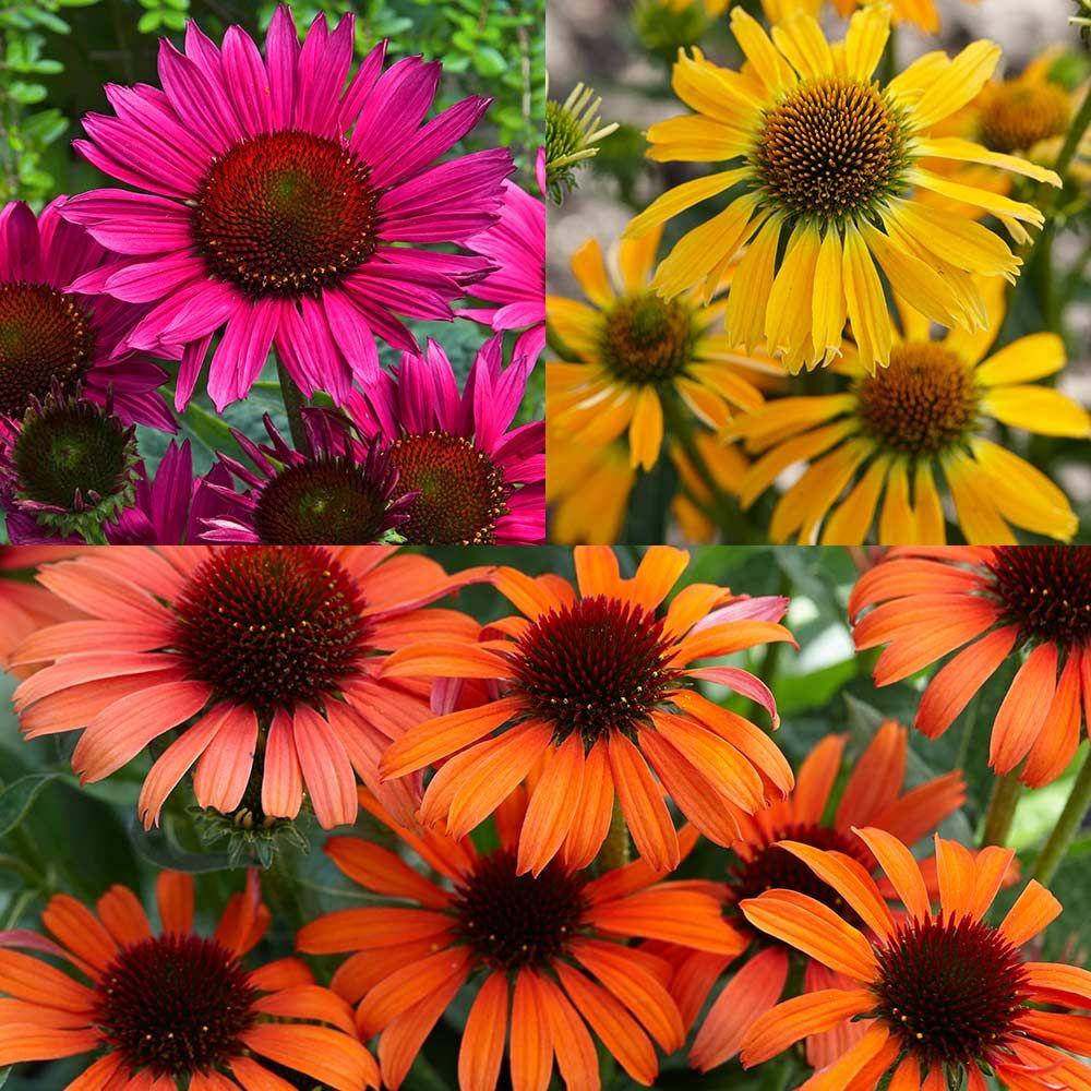 Echinacea Unusual Colour Collection J Parker Dutch Bulbs Echinacea Color Collection Echinacea Purpurea