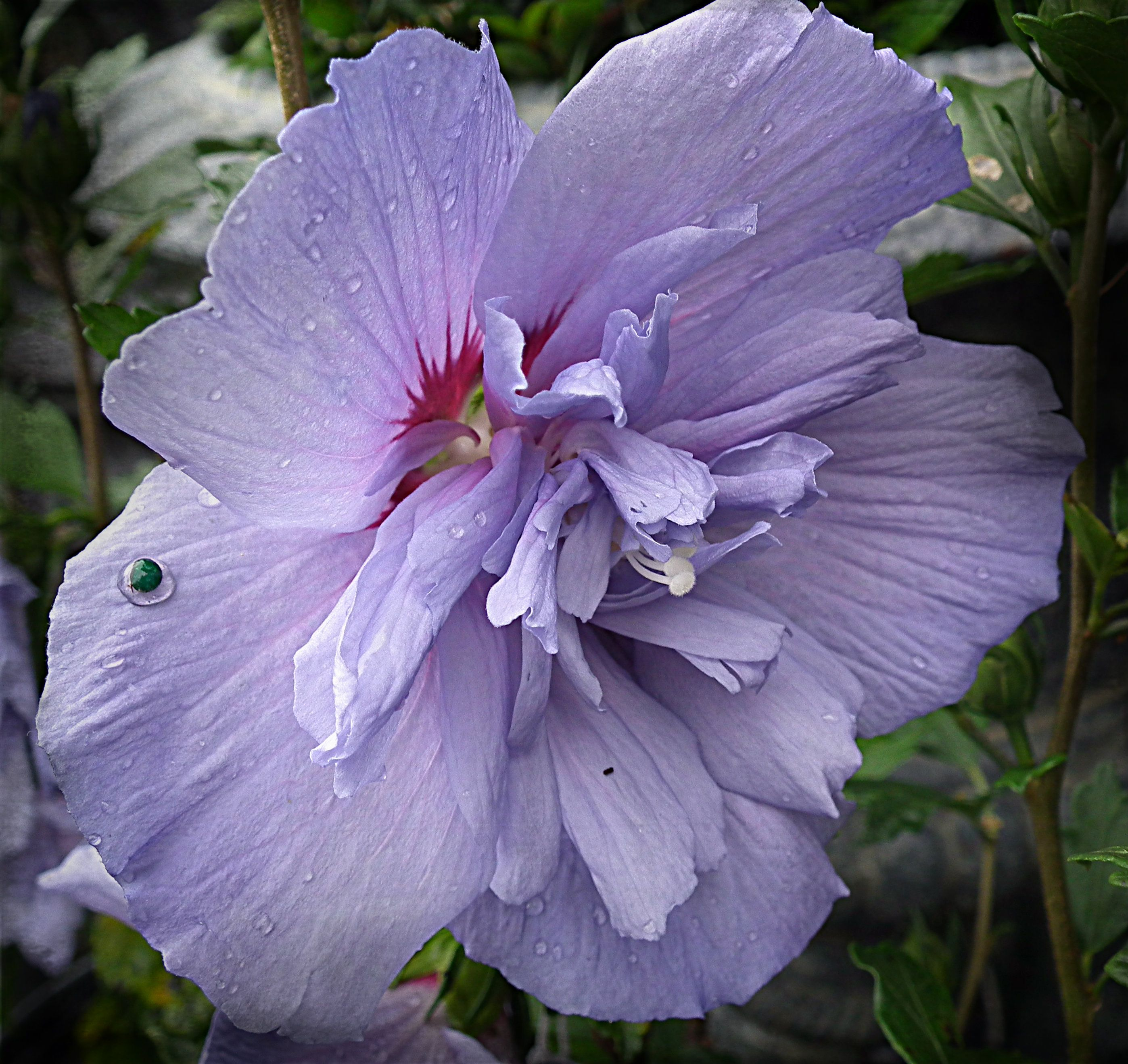 Rose Of Sharon Latin Name Althea Is A Tremendous Shrub To Incorporate Into A Perennial Garden Bed These Large Growing Growing Shrubs Plants Planting Herbs