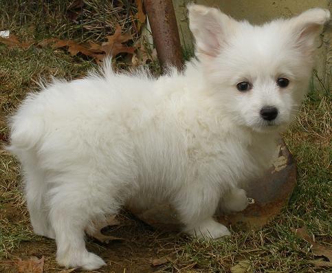 Toy Poodle Welsh Corgi Mix Dog Crossbreeds Corgi Cross Breeds