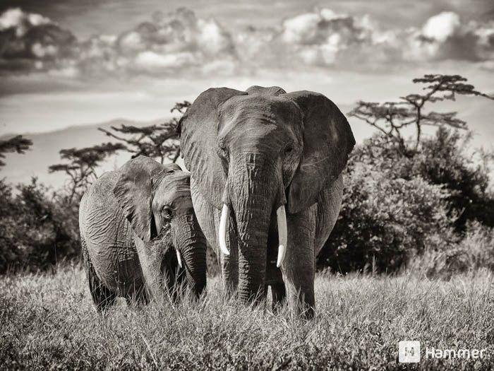 Segera Elephants, Laikipia, Kenya