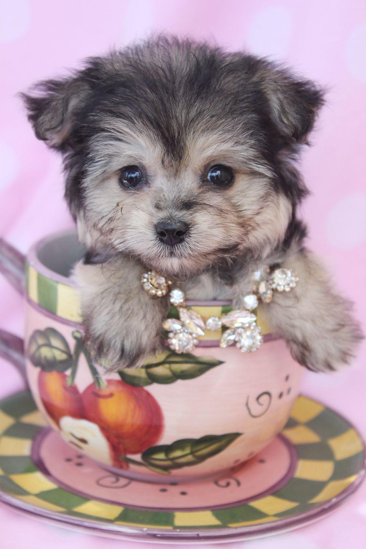 morkie308.jpg (1000×1500) Morkie puppies, Teacup