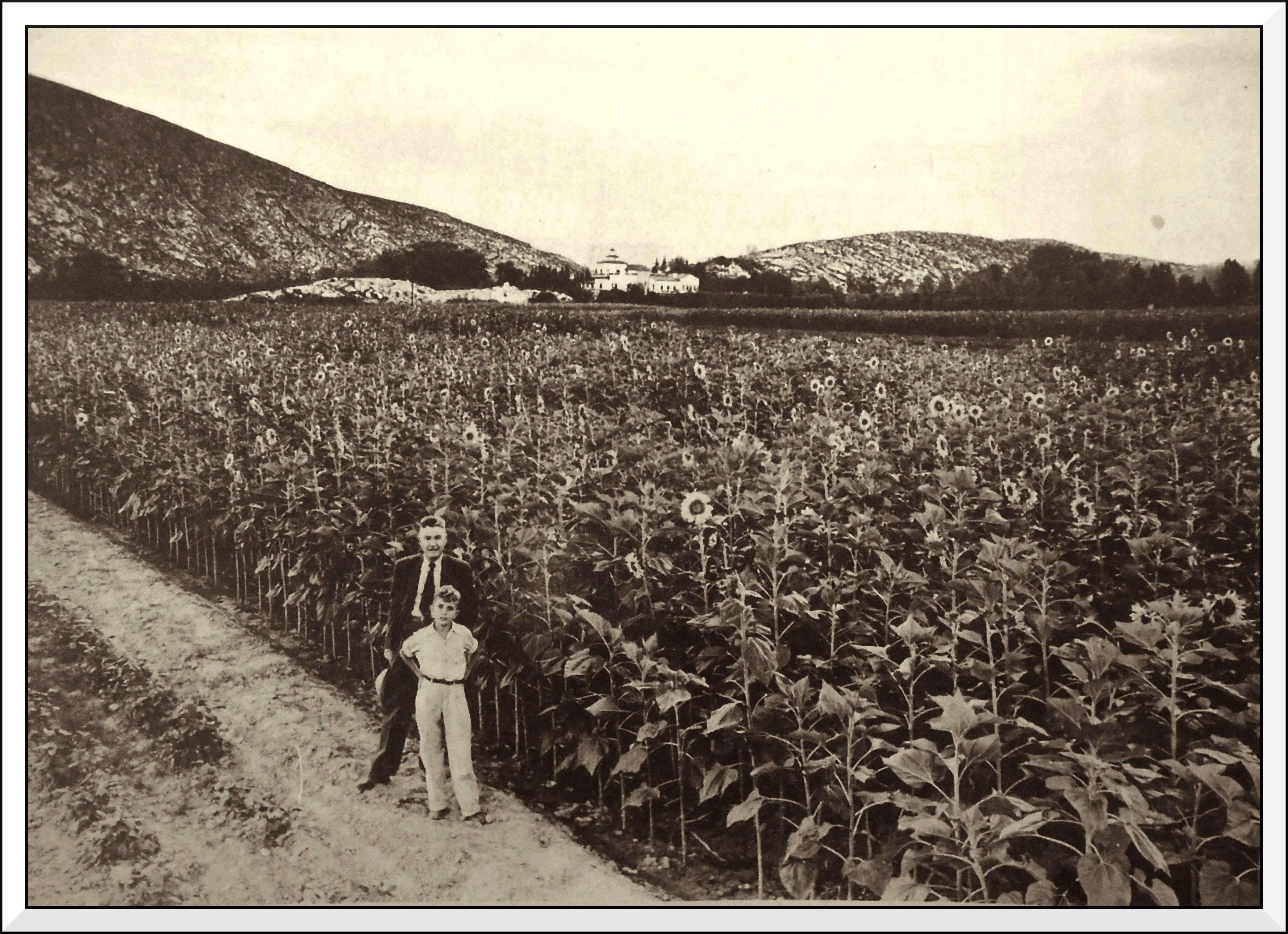 """Cultivation of sunflowers in 1942 where today is the Colonia Las Rosas,of the city of Gomez Palacio. In front of the photo, Jose F. Ortiz and his son. (Cultivo de girasoles en 1942 donde hoy es la colonia Las Rosas, de la Ciudad de Gómez Palacio. Al frente de la foto, José F. Ortiz y su hijo. Al fondo, a la izquierda, el cerro de calabazas, al centro, el edificio del """"Centro Campestre Lagunero"""" y a la derecha, el cerro de Santa Rosa o del Campestre)."""