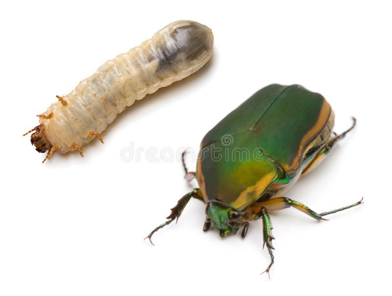 Beetle And Larva Close Up Of Green June Beetle Cotinis Nitida Linnaeus With Aff Close Green Beetle Larva June Ad Beetle Larvae Linnaeus
