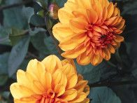The dark leaves of the 'David Howard' dahlia are the perfect backdrop for the smoky-orange flowers.