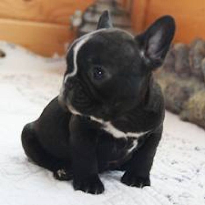 French Bulldog Puppies Wallpapers Hd Quality French Bulldog Puppies Bulldog Puppies Baby Animals