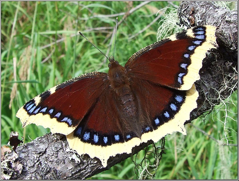 Бабочки самарской области фото и название
