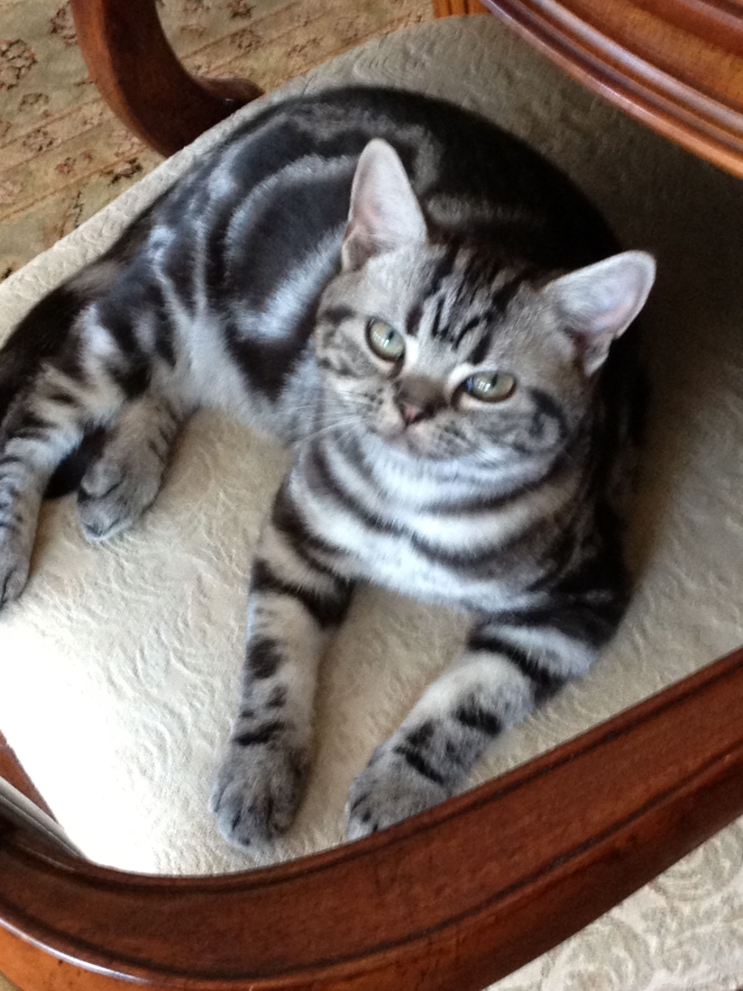 My Boy Is Growing Up Mckinley My 4 Month Old American Shorthair Silver Tabby American Shorthair Tabby 4 Month Olds