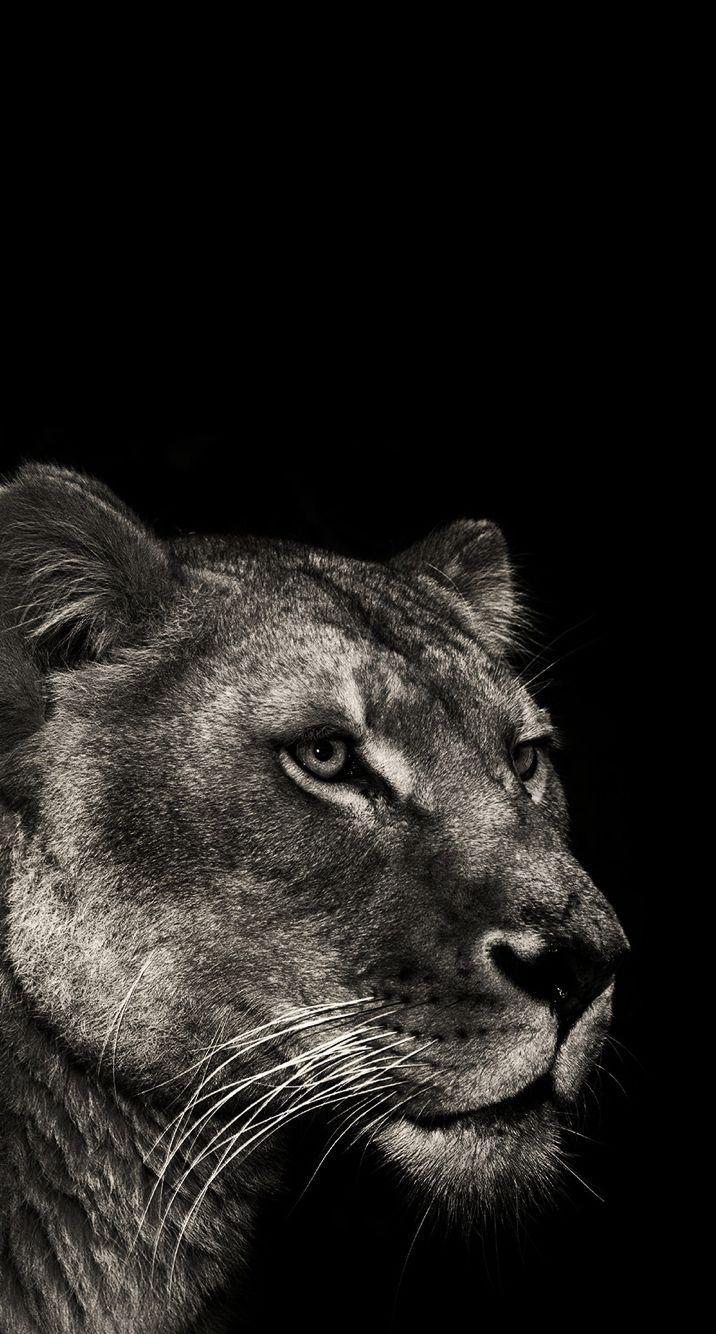 lioness wallpaper wallpapers pinterest lion wallpaper animals