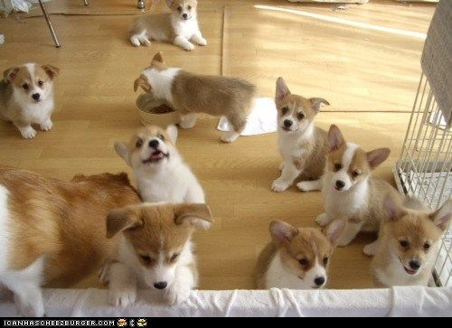 Cyoot Puppy Ob Teh Day A Pack Of Corgis Cute Corgi Cute