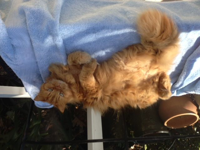 LOST Persian mixed cat in Palm Beach Gardens on 6/12/14
