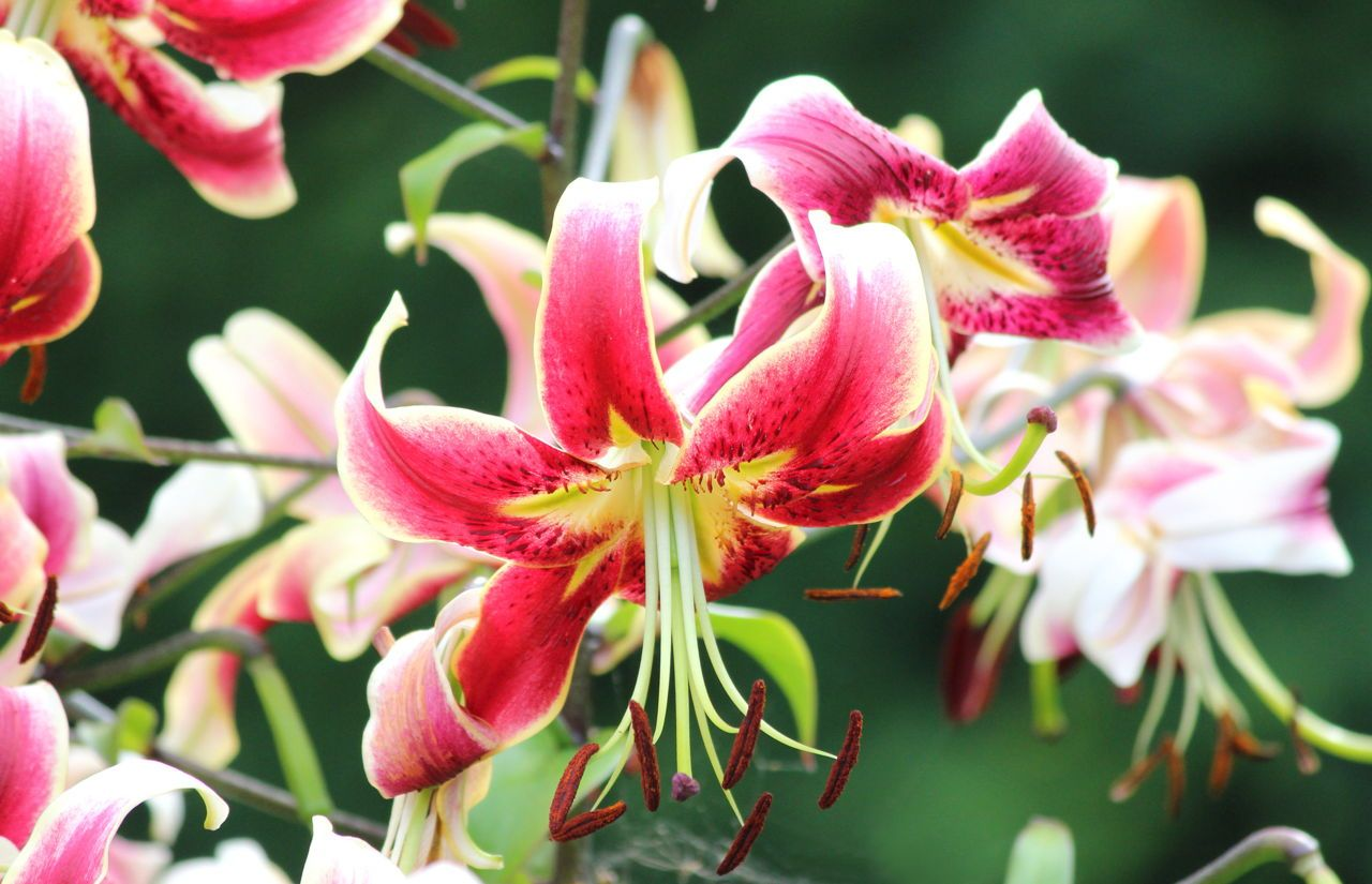 Meanings Of Stargazer Lilies What These Brilliant Flowers Symbolize Stargazer Lily Stargazing Lily