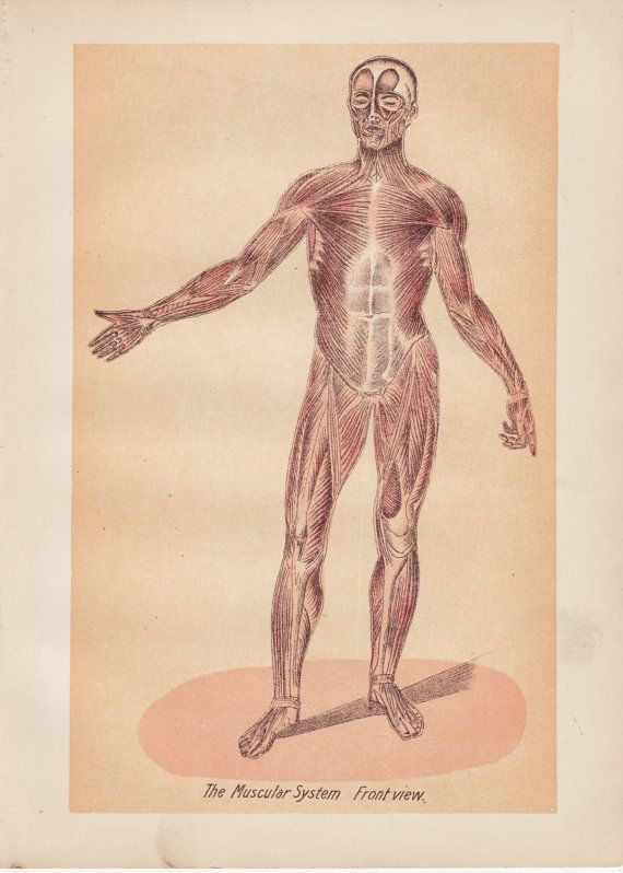 The muscular system medical anatomy chart lithograph by ej stanley on etsy retro pinterest illustration and also rh