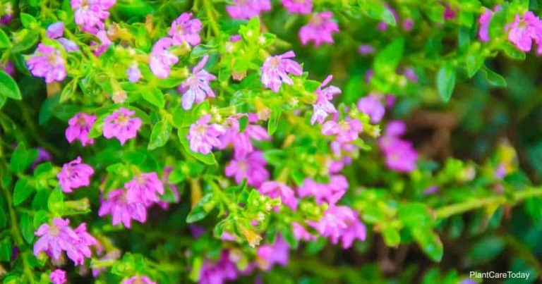 Mexican Heather Care How To Grow Cuphea Hyssopifolia In 2020 Cuphea Plant Heather Plant Heather Flower