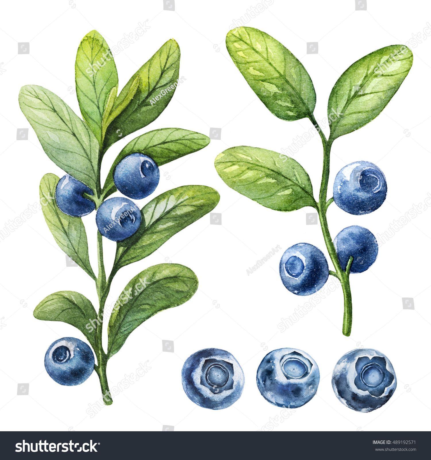 Blueberry Watercolor Botanical Illustration Stock Illustration 489192571