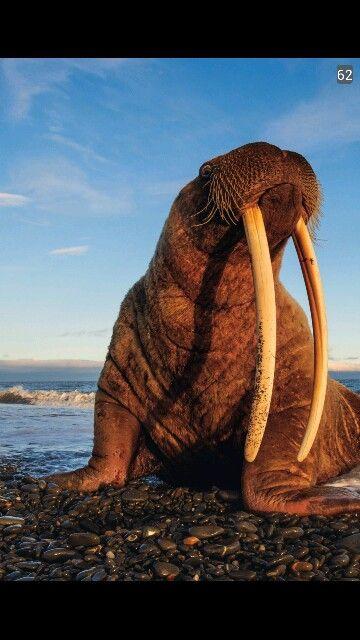 The walrus (Odobenus rosmarus) is a large flippered marine mammal ...