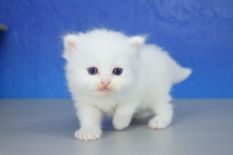 Dakota White Solid With Jeweled Eyes Male Ragamuffin Kitten Ragamuffin Kittens Ragamuffin Cat Teacup Kitten