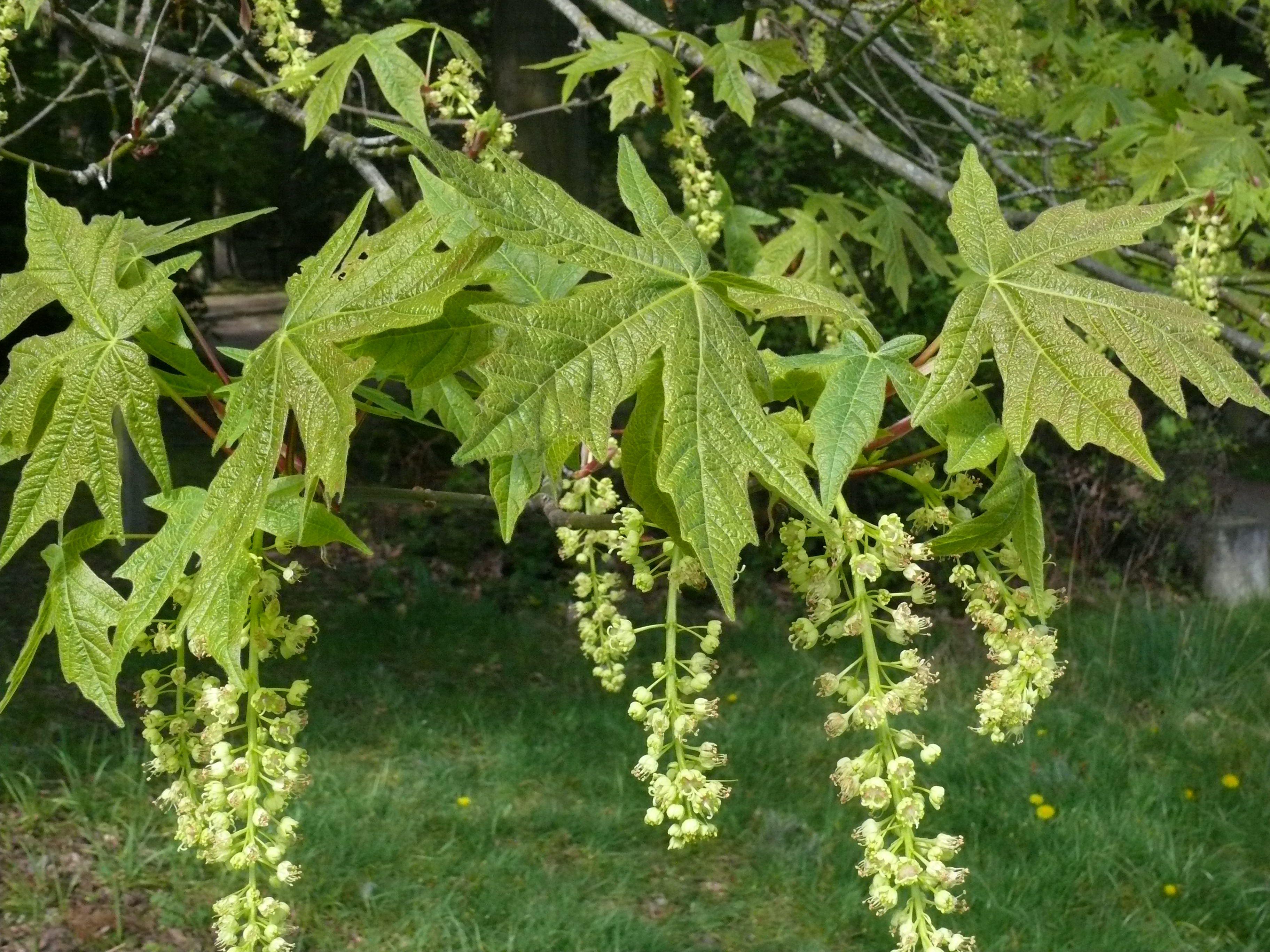 Acer Macrophyllum Big Leaf Maple Flowers Summer Week 2 Big