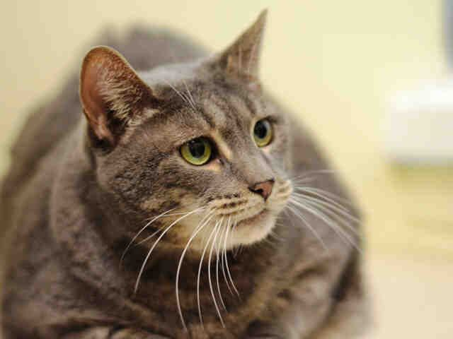 Diamond Adoptable Tabby Cat In Nyc Pets Cat Adoption Animals