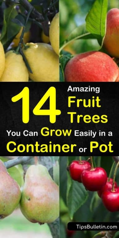 14 Amazing Fruit Trees You Can Grow Easily In A Container Or Pot Fruit Trees In Containers Potted Fruit Trees Fruit Trees