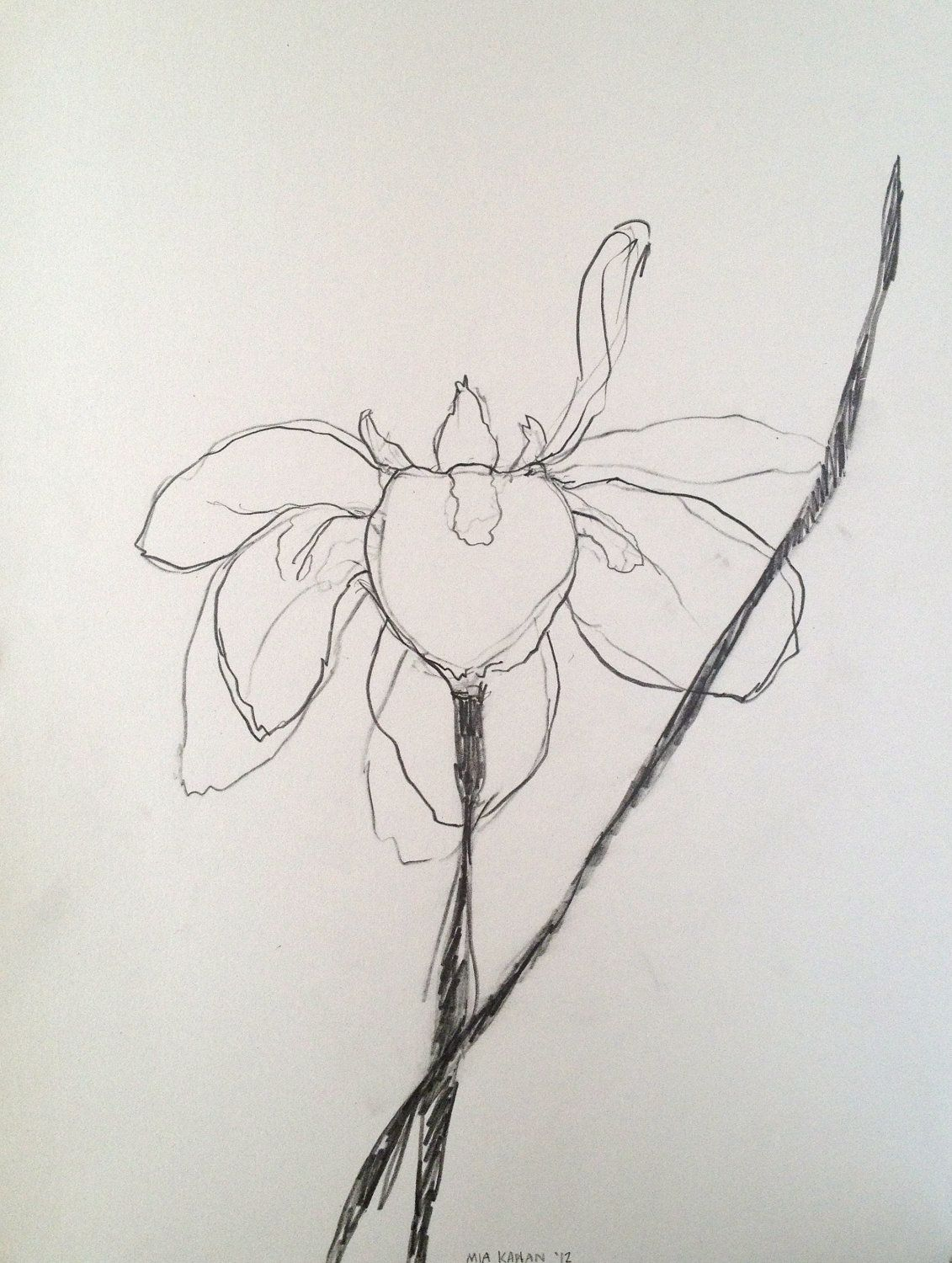 African lily white iris original graphite drawing on light grey