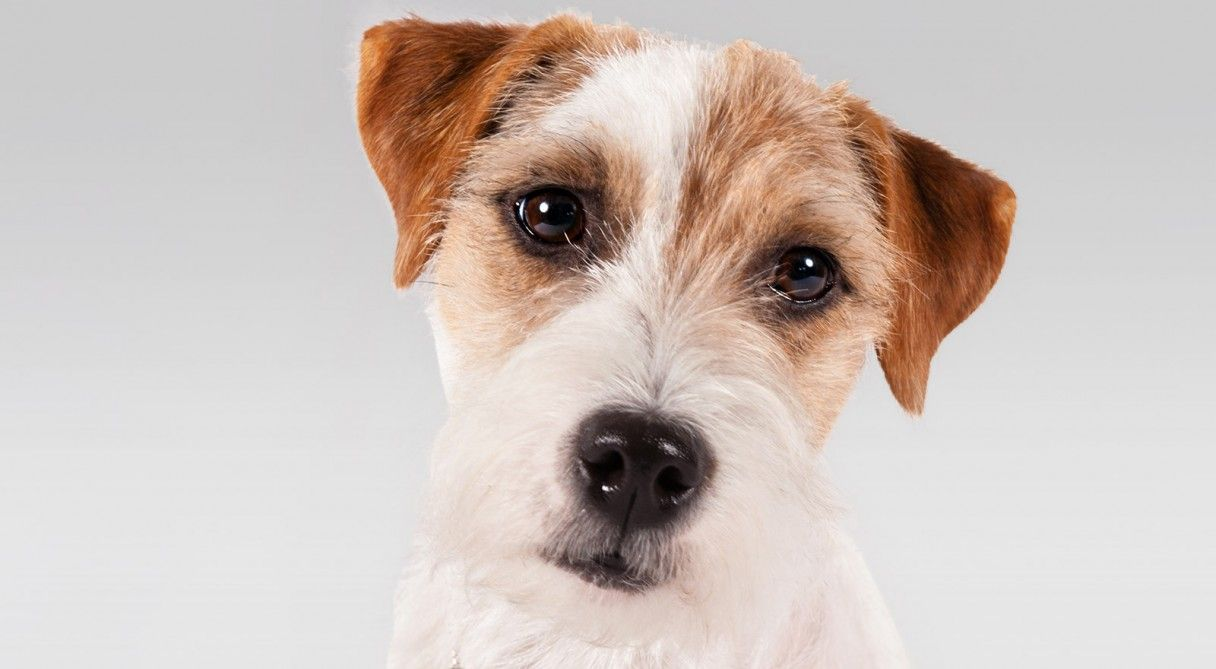 Parson Russell Terrier Dog Breed Information Parson Russell