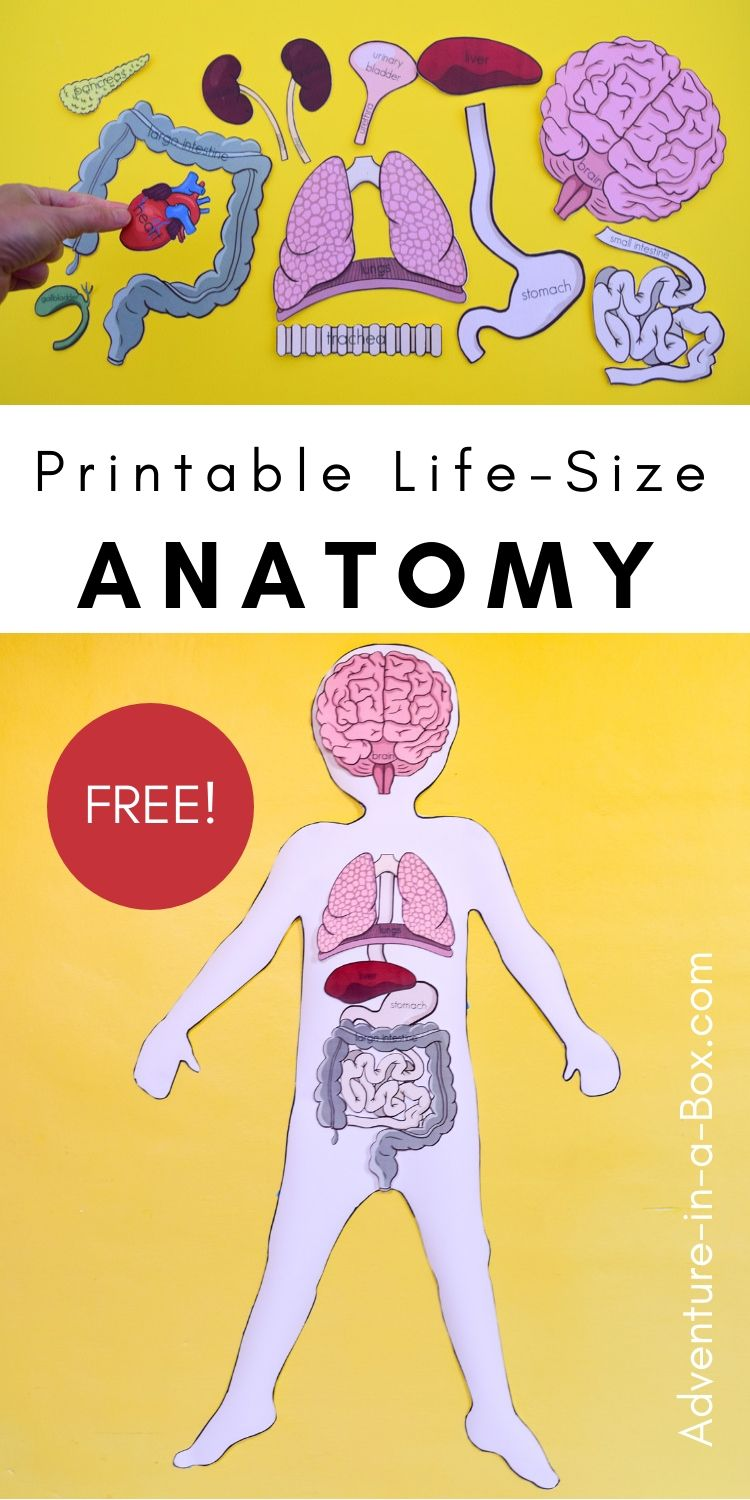 Printable Life Size Organs For Studying Human Body Anatomy With Kids