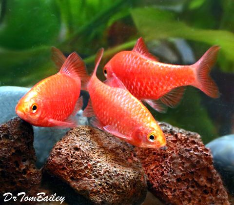Neon Rosy Barbs I Love The Pearlescent Gold And Pink Color Of These Fish Good Community Fish With Other Active Species Zierfische Aquaristik Fische