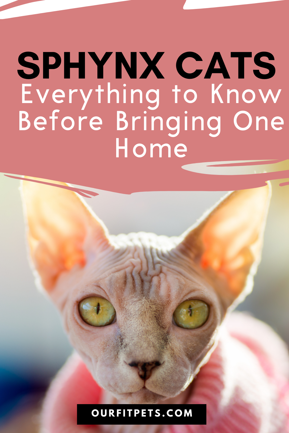 Sphynx Cats Everything To Know Before Bringing One Home Our Fit Pets In 2020 Sphynx Cat Sphynx Hairless Cat