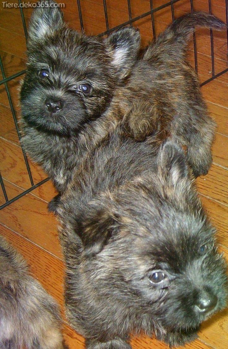 Cairn Terrier Welpen in 2020 (met afbeeldingen) Cairn