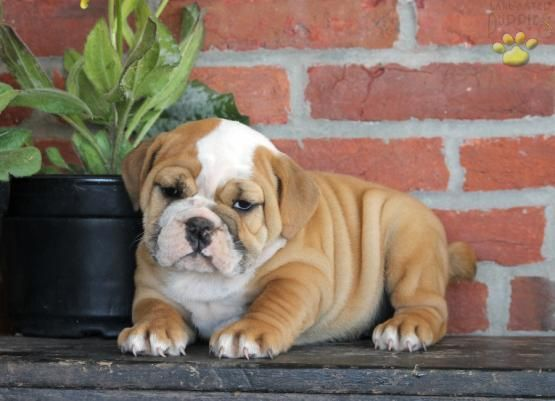 Hannah English Bulldog Puppy For Sale In Hershey Pa Lancaster Puppies Bulldog Puppies For Sale English Bulldog Puppies For Sale
