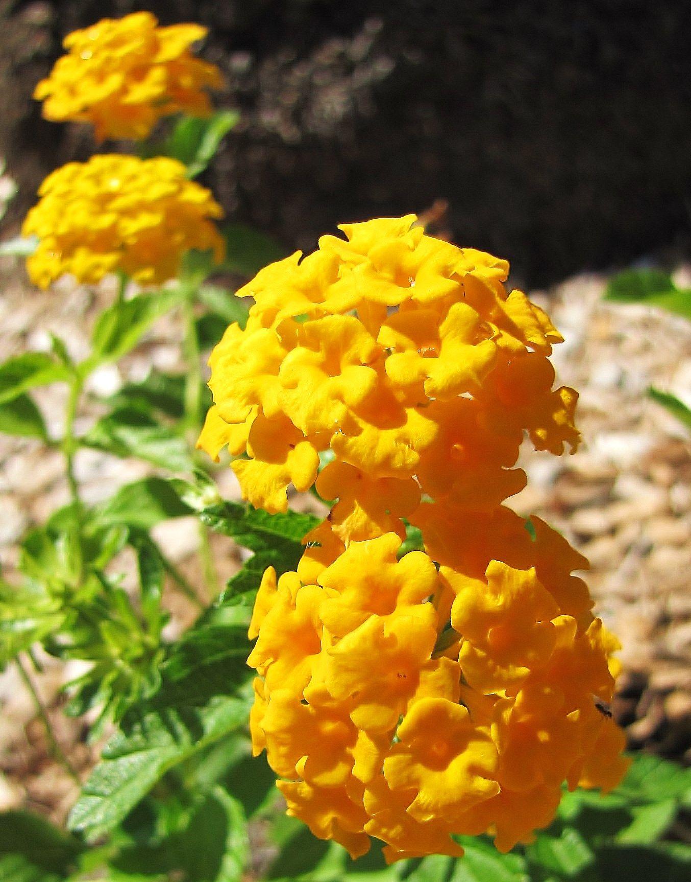 Lantana yellow north facing garden florida flowers lantana