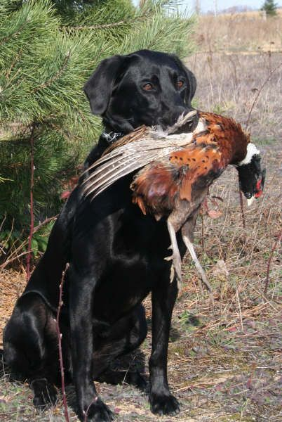 Black Lab With Pheasant Dog Pictures Hunting Dogs Dog Training
