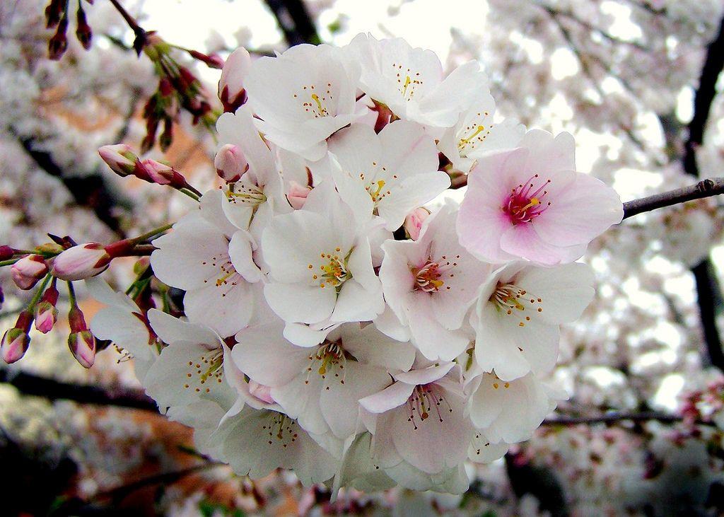Rosaceae Prunus X Yedoensis Yoshino Somei Yoshino Cherry Blossoms Yoshino Cherry Sakura Flower Yoshino Cherry Tree