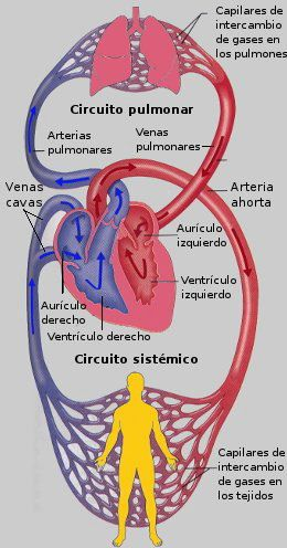 Corazon Miocardio Nueva Medicina Germanica NMG Hamer Leyes ...