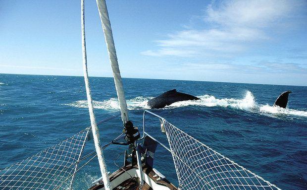 Baleia mergulha próximo aos veleiros - Fernando de Noronha.