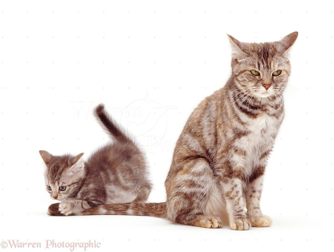 Found On Bing From Www Warrenphotographic Co Uk Cute Baby Cats Baby Cats Kittens Playing