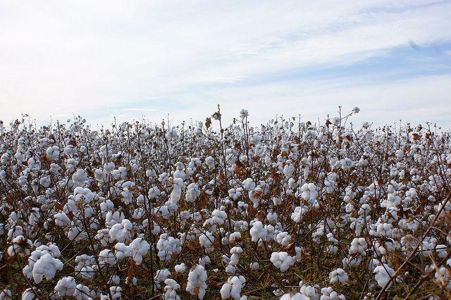 Cotton_Field by captrosha, via Flickr