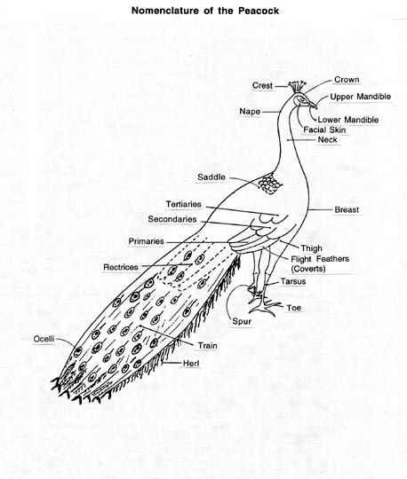 Nomenclature of the Peacock  Peafowl  Pinterest  Peacocks and