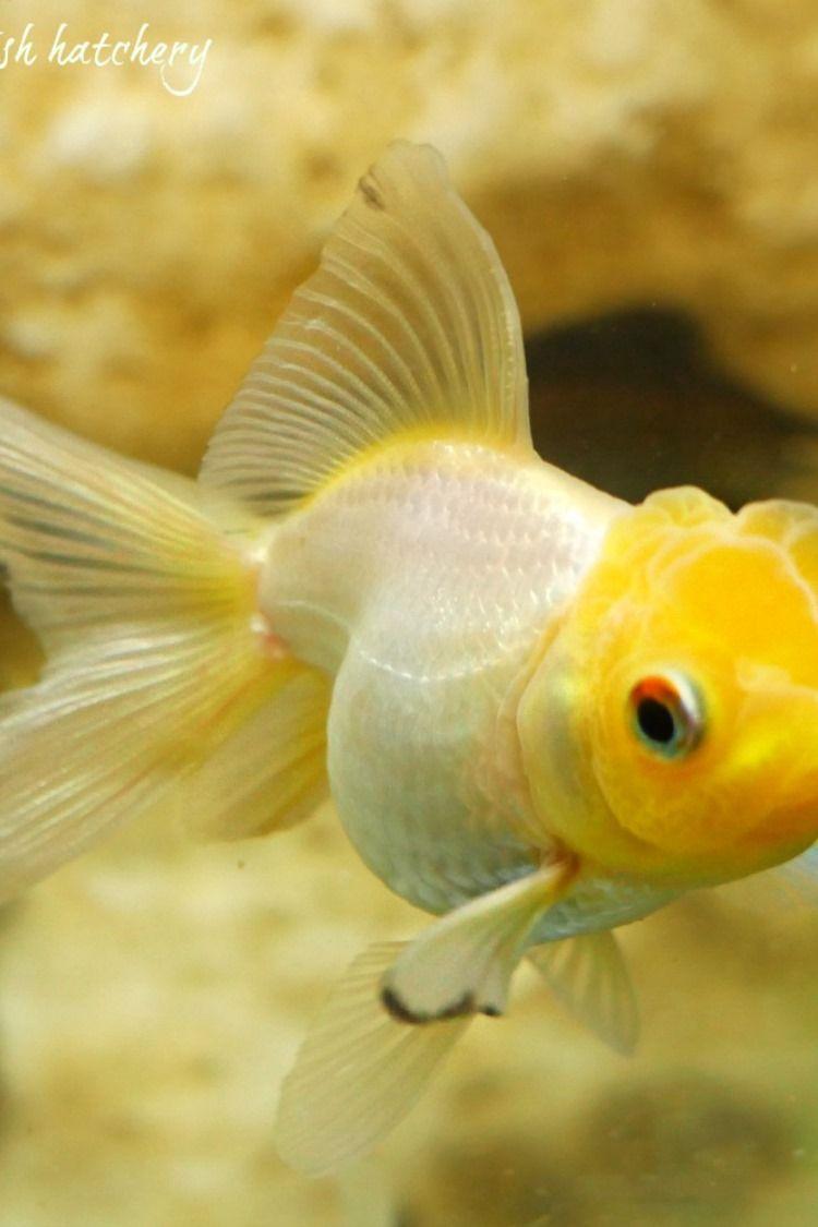 Pin By Haroldnjill Thompson Weiland On Goldfish We Sell Goldfish For Sale Goldfish Aquarium Fish