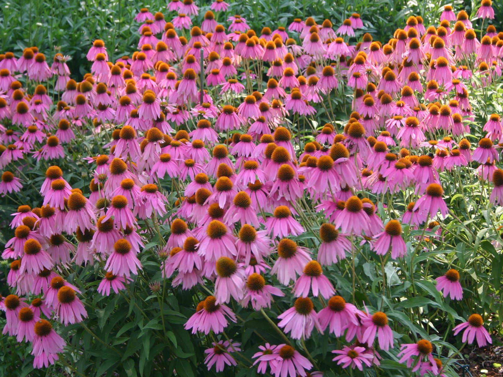 Purple Coneflower Google Search Garden Pinterest Shrub