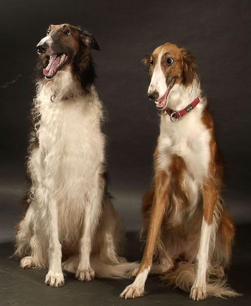 Borzoi / Russian Wolfhound | they look hilariously surprised like they just found out they got to be on TV