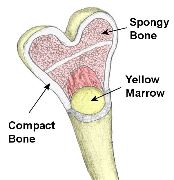 bone spongy and compact | bone surrounding a spongy interior these ...