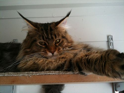 Coco - Black Tabby Maine Coon | Flickr - Photo Sharing!