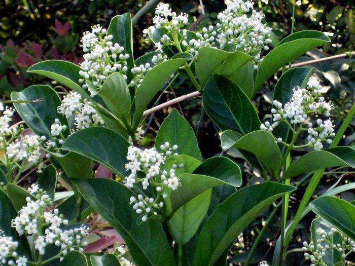 Sweet Viburnum Plant Library Shrubs Plants Garden Shrubs